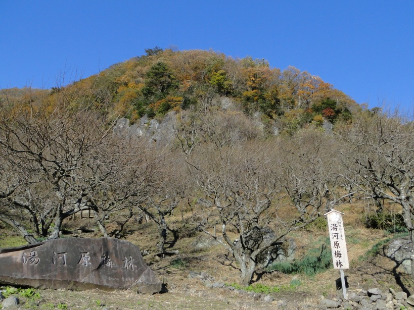 The plum tree orchard